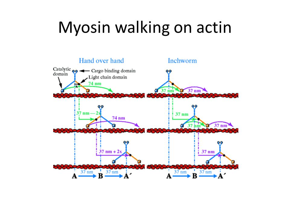 Myosin walking on actin