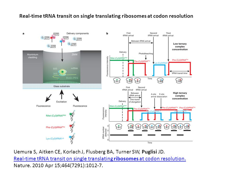Real-time tRNA transit on single translating ribosomes at codon resolution Uemura S, Aitken CE, Korlach J, Flusberg BA, Turner SW, Puglisi JD.