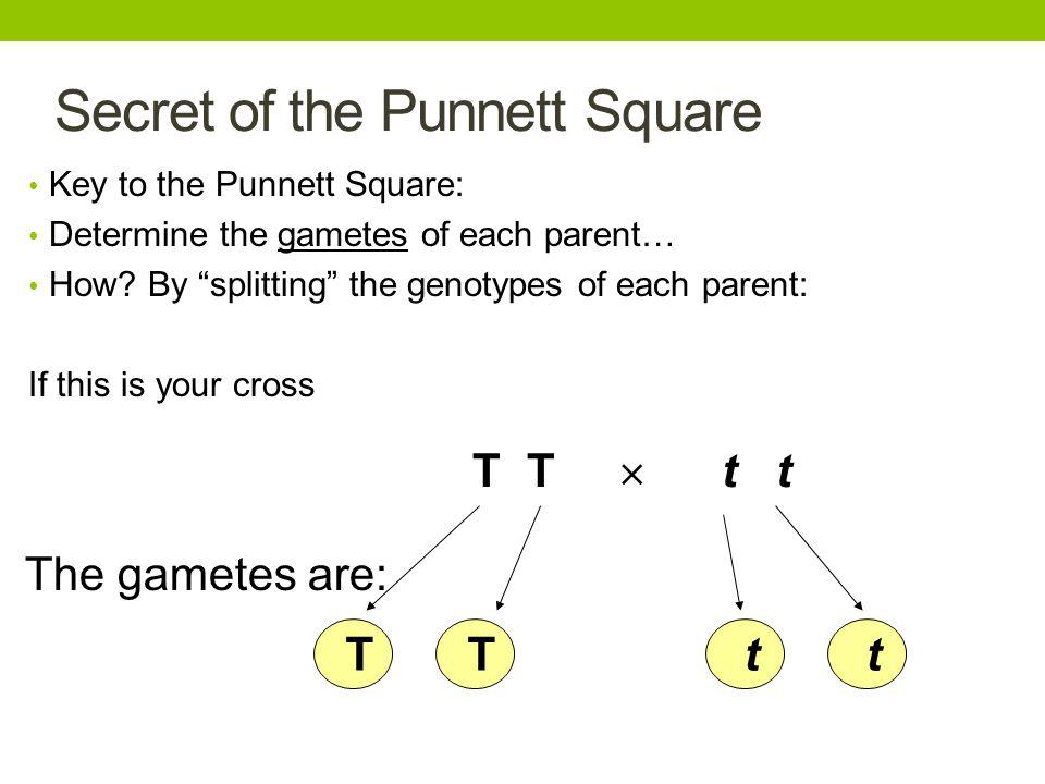 """Secret of the Punnett Square Key to the Punnett Square: Determine the gametes of each parent… How? By """"splitting"""" the genotypes of each parent: If thi"""