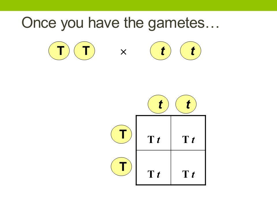 Once you have the gametes… T T t t T t T t  T T t t