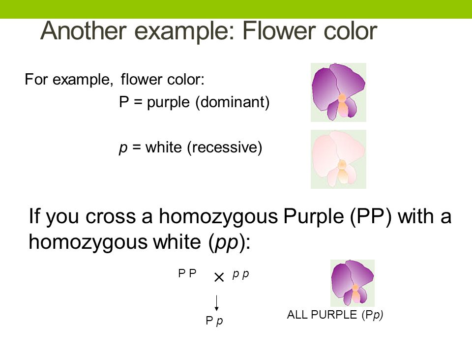 Another example: Flower color For example, flower color: P = purple (dominant) p = white (recessive) If you cross a homozygous Purple (PP) with a homo