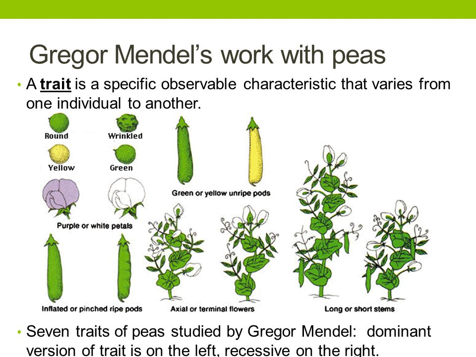 Gregor Mendel's work with peas A trait is a specific observable characteristic that varies from one individual to another. Seven traits of peas studie