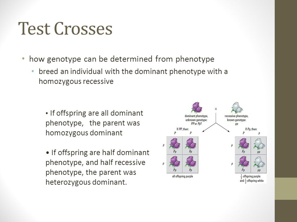Test Crosses how genotype can be determined from phenotype breed an individual with the dominant phenotype with a homozygous recessive If offspring ar