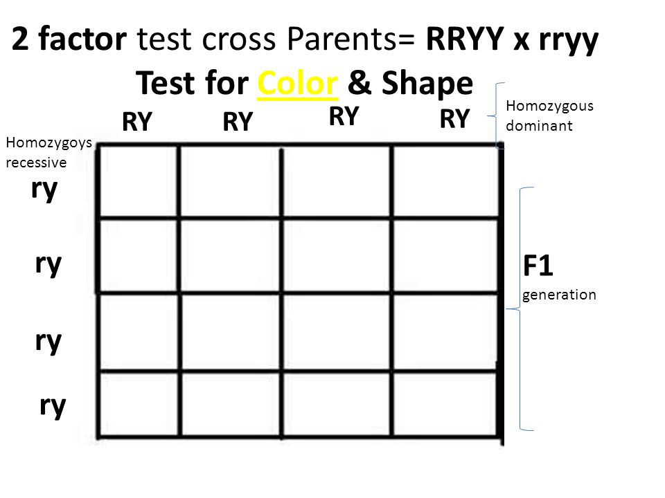 2 factor test cross Parents= RRYY x rryy Test for Color & Shape RY ry F1 generation Homozygous dominant Homozygoys recessive