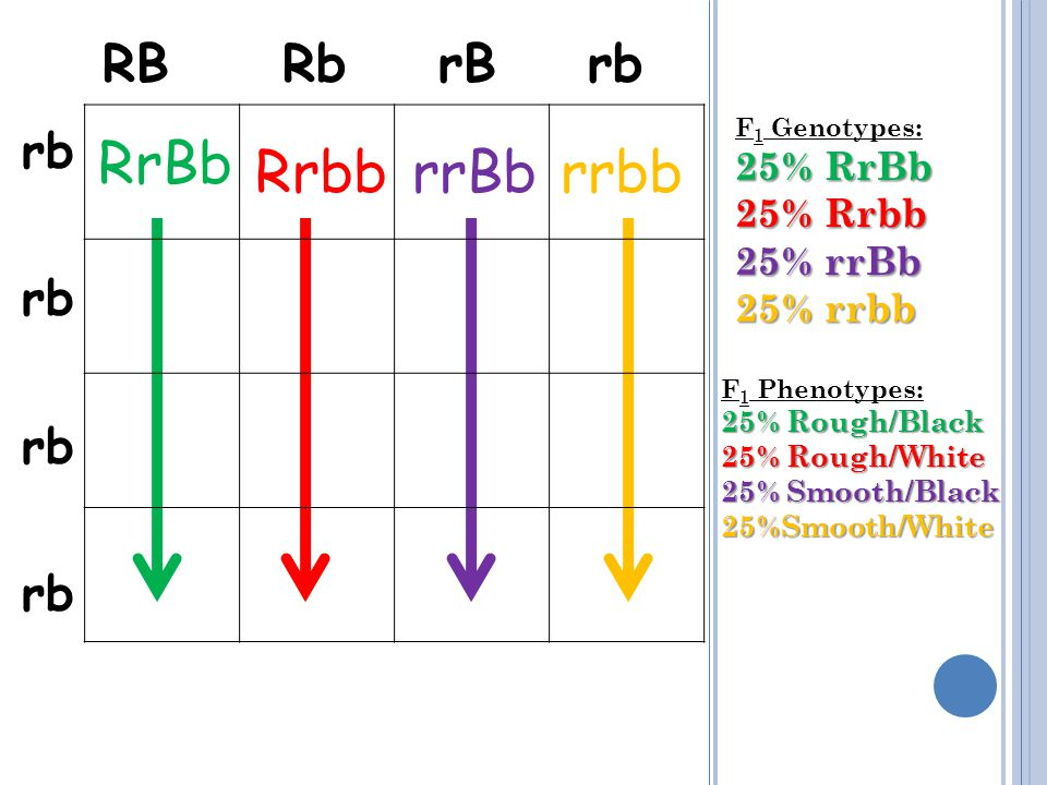 RB Rb rB rb rb RrBb Rrbb rrBb rrbb F 1 Genotypes: 25% RrBb 25% Rrbb 25% rrBb 25% rrbb F 1 Phenotypes: 25% Rough/Black 25% Rough/White 25% Smooth/Black 25%Smooth/White