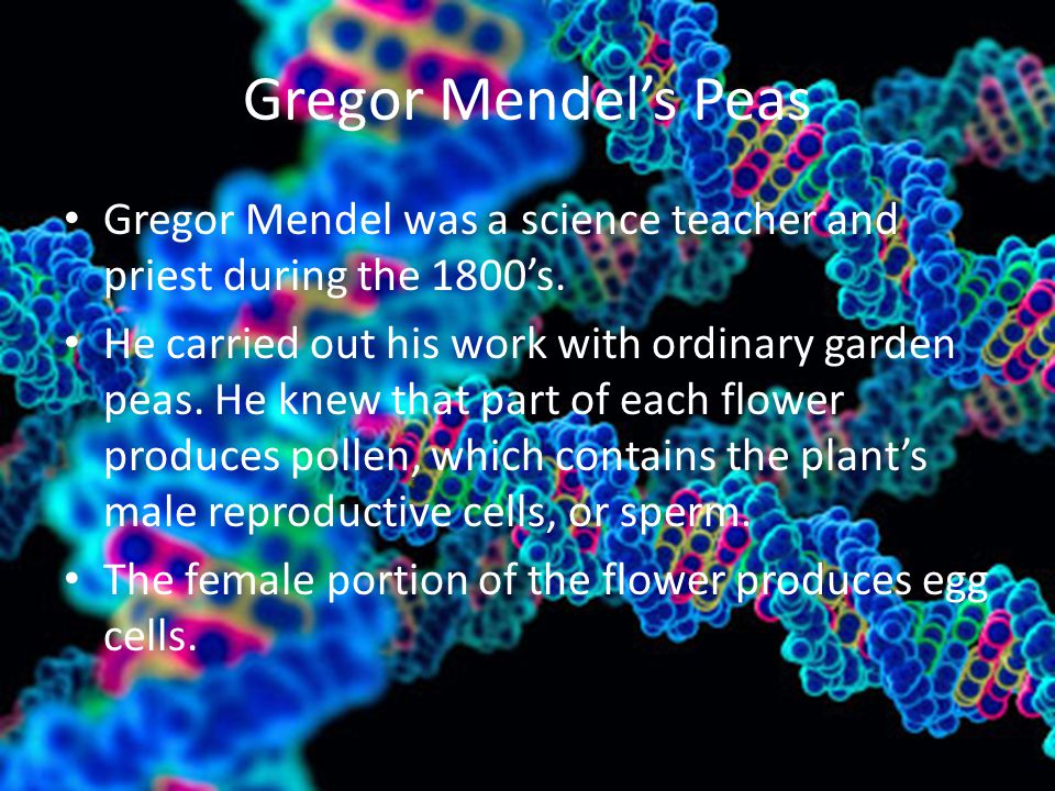 Gregor Mendel's Peas Gregor Mendel was a science teacher and priest during the 1800's. He carried out his work with ordinary garden peas. He knew that