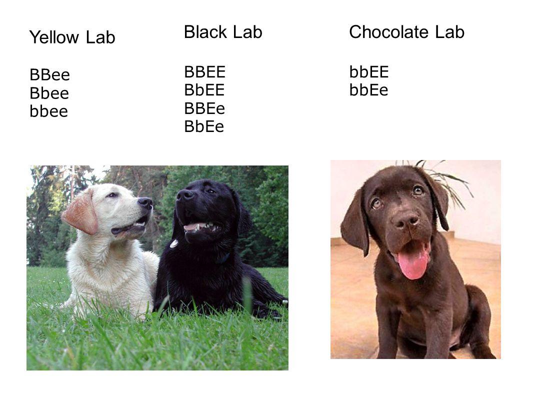 Black Lab BBEE BbEE BBEe BbEe Chocolate Lab bbEE bbEe Yellow Lab BBee Bbee bbee