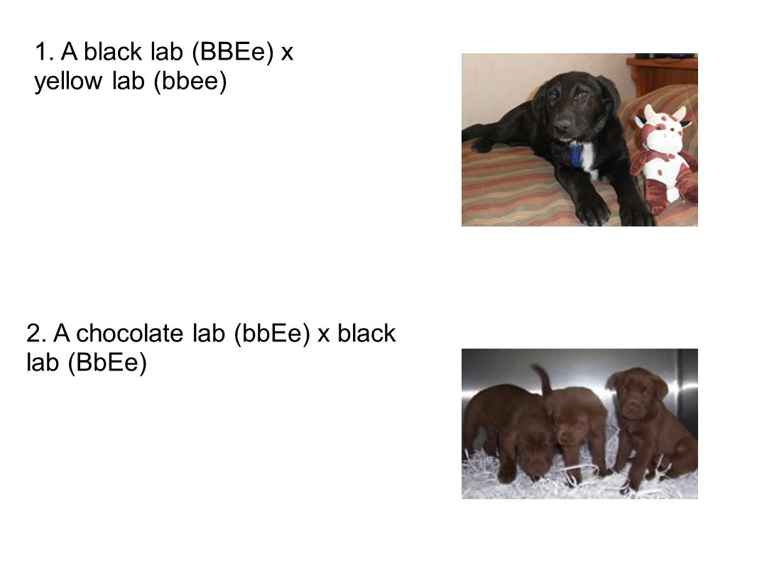 1. A black lab (BBEe) x yellow lab (bbee) 2. A chocolate lab (bbEe) x black lab (BbEe)