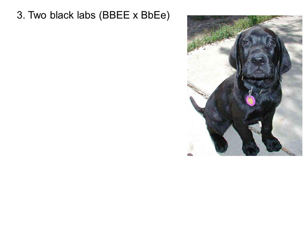3. Two black labs (BBEE x BbEe)