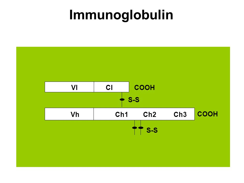 Immunoglobulin S-S COOH ClVl VhCh1Ch2Ch3 S-S