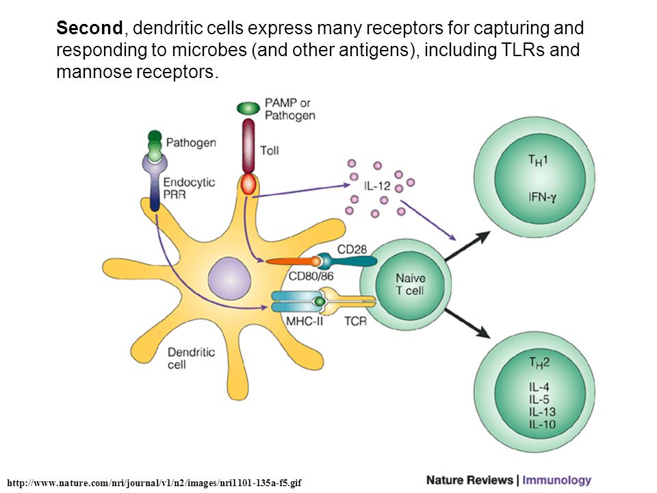 http://www.nature.com/nri/journal/v1/n2/images/nri1101-135a-f5.gif Second, dendritic cells express many receptors for capturing and responding to microbes (and other antigens), including TLRs and mannose receptors.