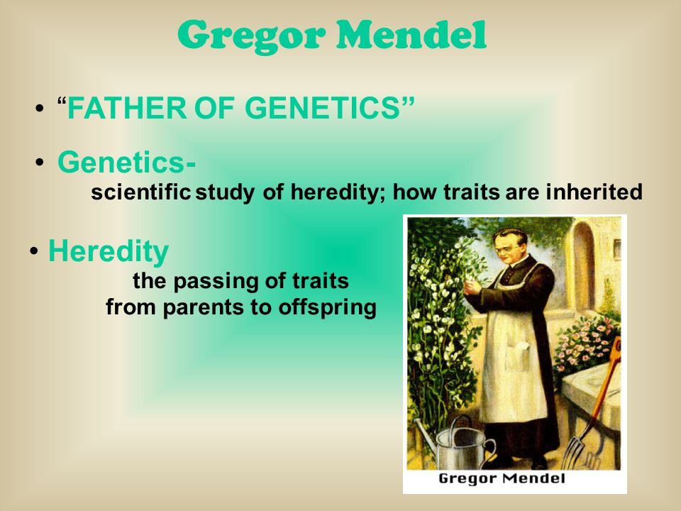 "Gregor Mendel ""FATHER OF GENETICS"" Genetics- scientific study of heredity; how traits are inherited Heredity the passing of traits from parents to off"