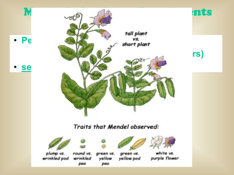 Mendel's Pea Plant Experiments Why Peas? Pea plants have many traits (tall/short, purple flowers/white flowers) self-fertilized or cross-fertilized