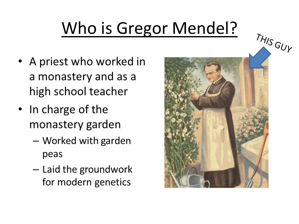 Who is Gregor Mendel? A priest who worked in a monastery and as a high school teacher In charge of the monastery garden – Worked with garden peas – La