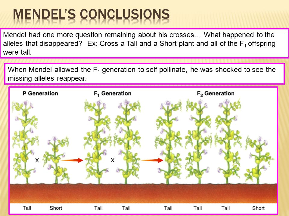 Mendel had one more question remaining about his crosses… What happened to the alleles that disappeared? Ex: Cross a Tall and a Short plant and all of