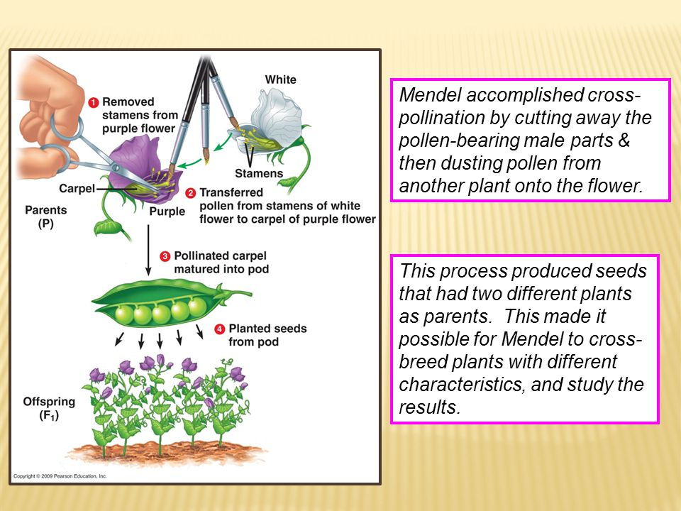 Mendel accomplished cross- pollination by cutting away the pollen-bearing male parts & then dusting pollen from another plant onto the flower. This pr