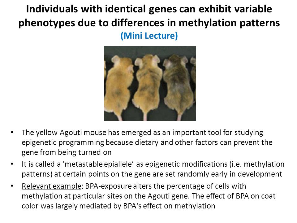 The yellow Agouti mouse has emerged as an important tool for studying epigenetic programming because dietary and other factors can prevent the gene from being turned on It is called a metastable epiallele' as epigenetic modifications (i.e.