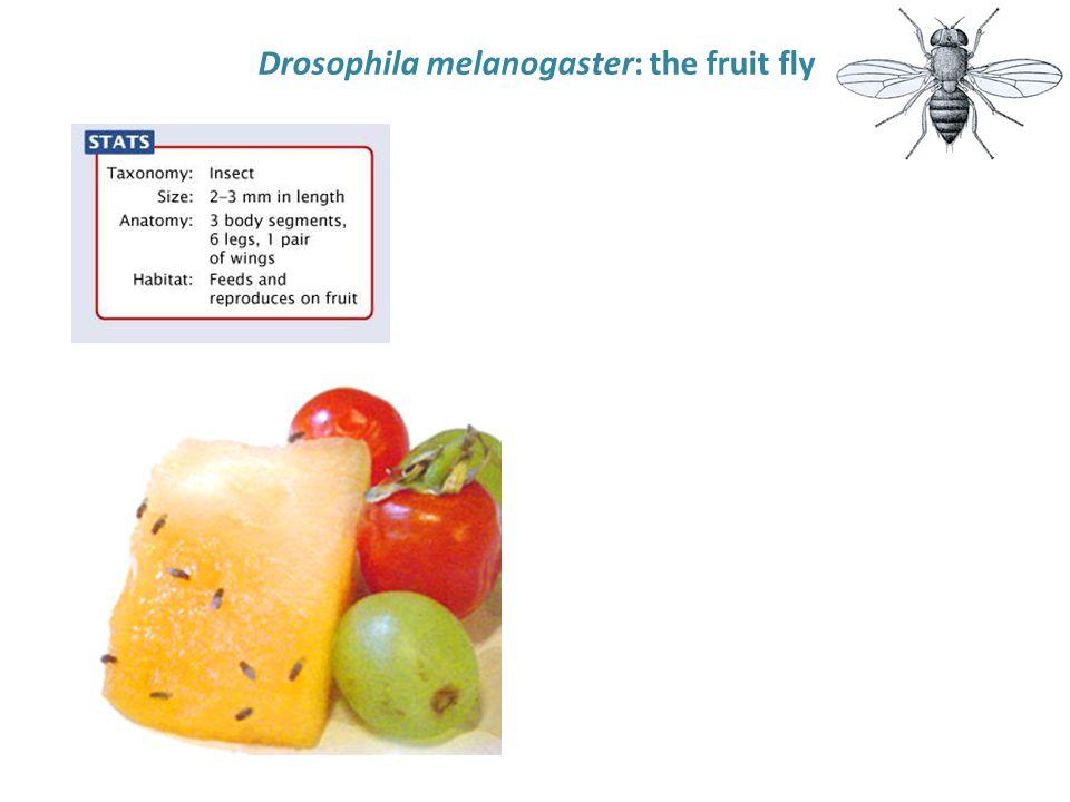 Drosophila melanogaster: the fruit fly