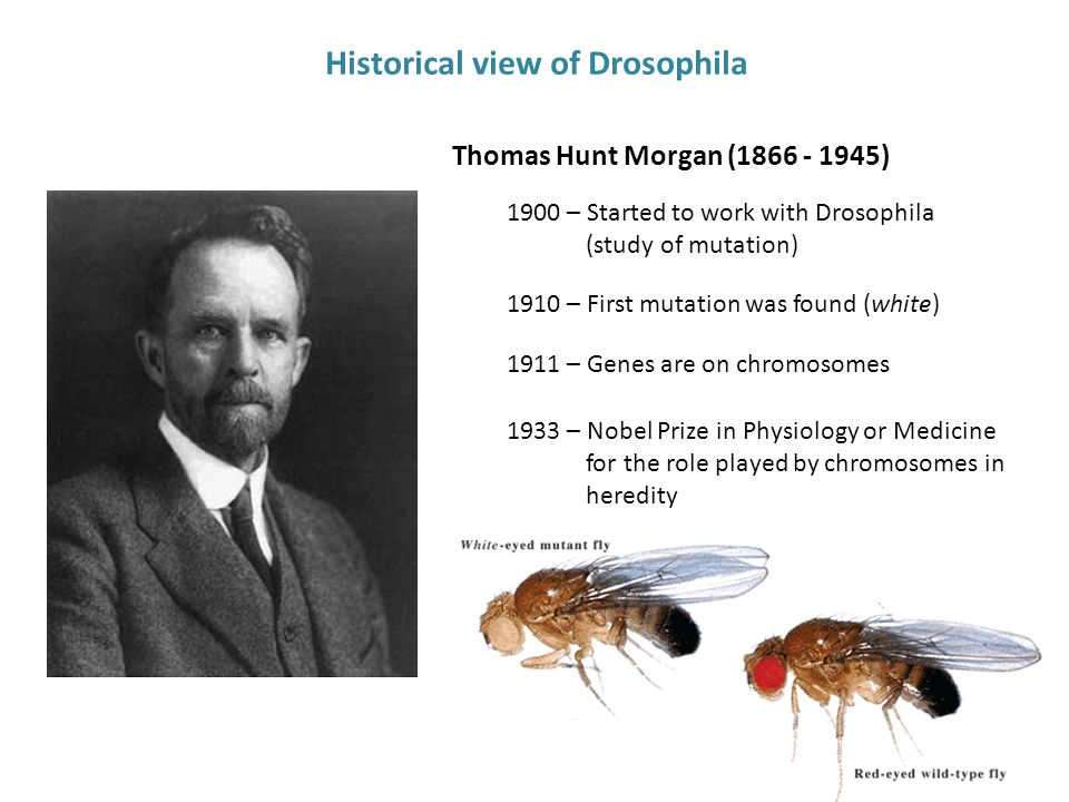 Thomas Hunt Morgan (1866 - 1945) 1933 – Nobel Prize in Physiology or Medicine for the role played by chromosomes in heredity 1900 – Started to work with Drosophila (study of mutation) 1910 – First mutation was found (white) Historical view of Drosophila 1911 – Genes are on chromosomes