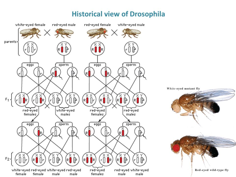 Historical view of Drosophila