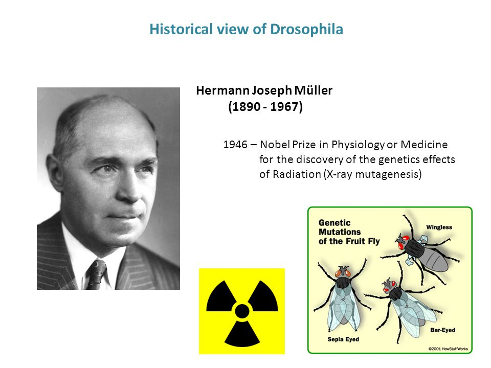 Hermann Joseph Müller (1890 - 1967) 1946 – Nobel Prize in Physiology or Medicine for the discovery of the genetics effects of Radiation (X-ray mutagenesis) Historical view of Drosophila