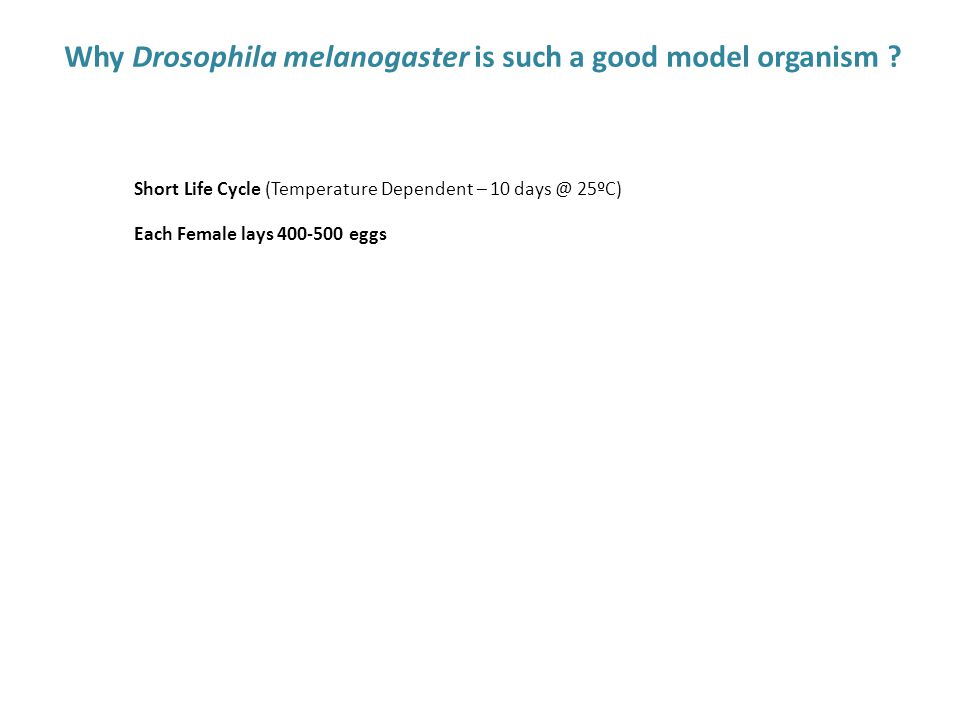 Why Drosophila melanogaster is such a good model organism ? Easy to maintain and manipulate in the Lab (low cost) Suitable of Genetic Manipulation Sim