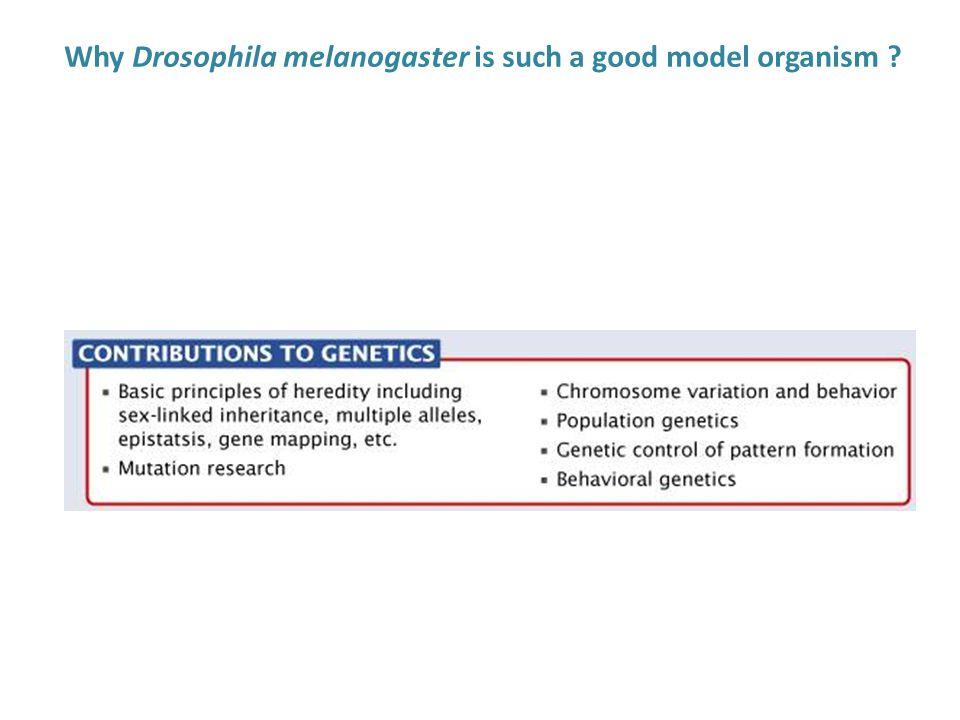 Why Drosophila melanogaster is such a good model organism ?