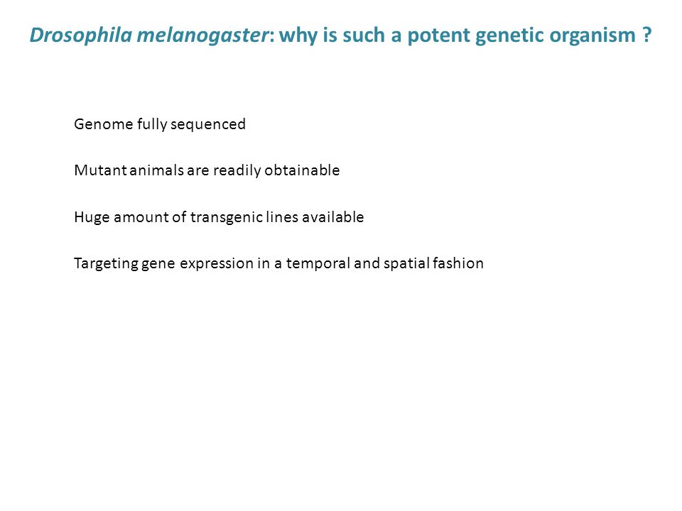 Drosophila melanogaster: why is such a potent genetic organism .