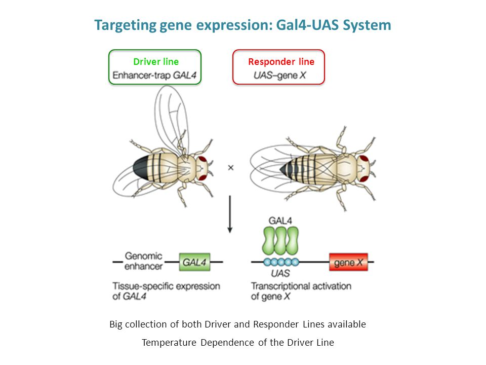 Driver lineResponder line Big collection of both Driver and Responder Lines available Temperature Dependence of the Driver Line Targeting gene expression: Gal4-UAS System