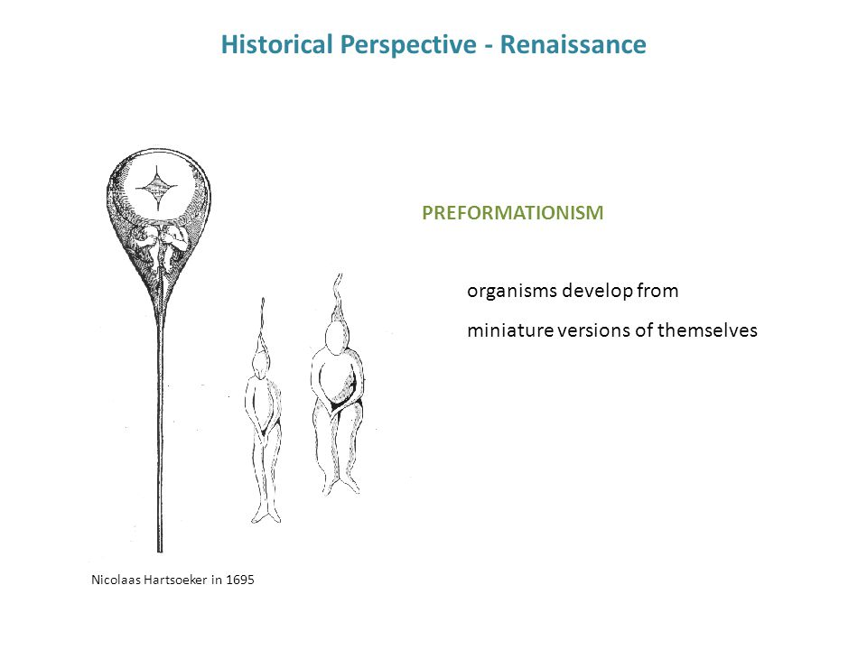 Nicolaas Hartsoeker in 1695 Historical Perspective - Renaissance PREFORMATIONISM organisms develop from miniature versions of themselves