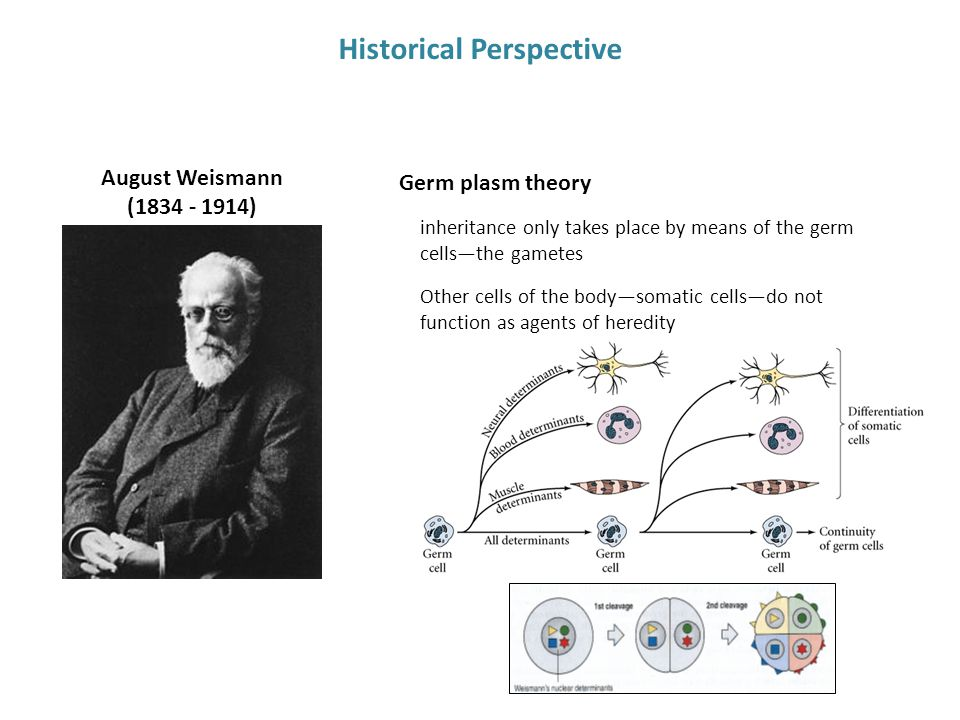 August Weismann (1834 - 1914) Historical Perspective Germ plasm theory inheritance only takes place by means of the germ cells—the gametes Other cells