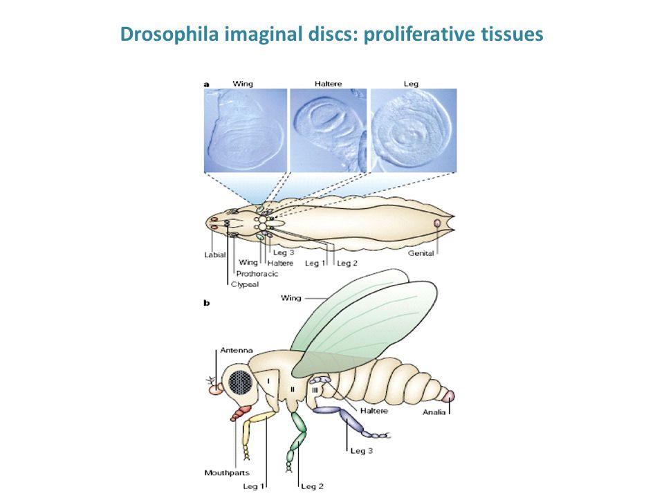 Drosophila imaginal discs: proliferative tissues
