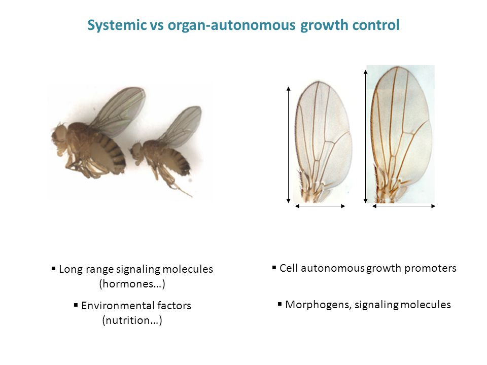  Cell autonomous growth promoters  Morphogens, signaling molecules  Long range signaling molecules (hormones…)  Environmental factors (nutrition…) Systemic vs organ-autonomous growth control