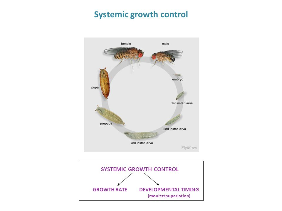 Systemic growth control SYSTEMIC GROWTH CONTROL GROWTH RATEDEVELOPMENTAL TIMING (moults+pupariation)