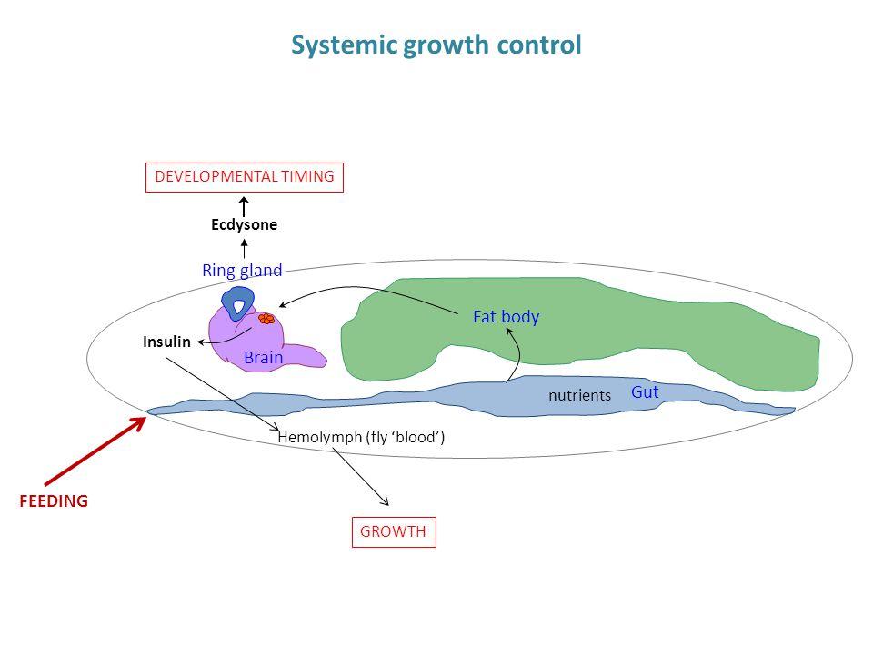 Gut Fat body Brain Ring gland nutrients Insulin GROWTH Systemic growth control FEEDING Hemolymph (fly 'blood') Ecdysone DEVELOPMENTAL TIMING