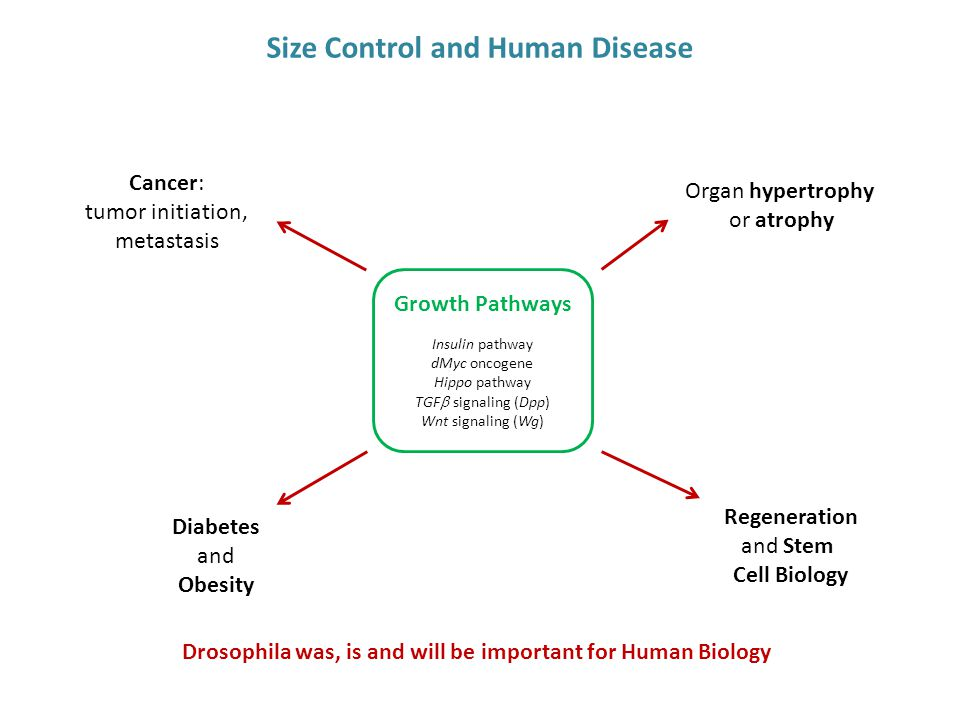 Size Control and Human Disease Cancer: tumor initiation, metastasis Diabetes and Obesity Organ hypertrophy or atrophy Insulin pathway dMyc oncogene Hi