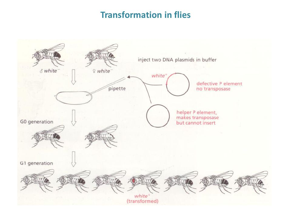 Transformation in flies