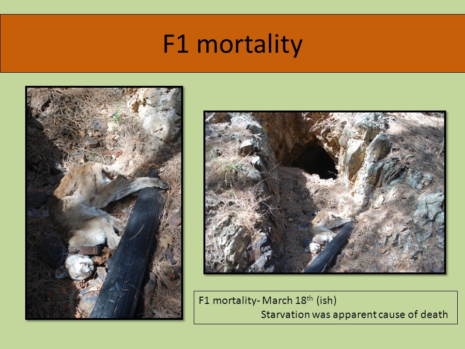 F1 mortality F1 mortality- March 18 th (ish) Starvation was apparent cause of death