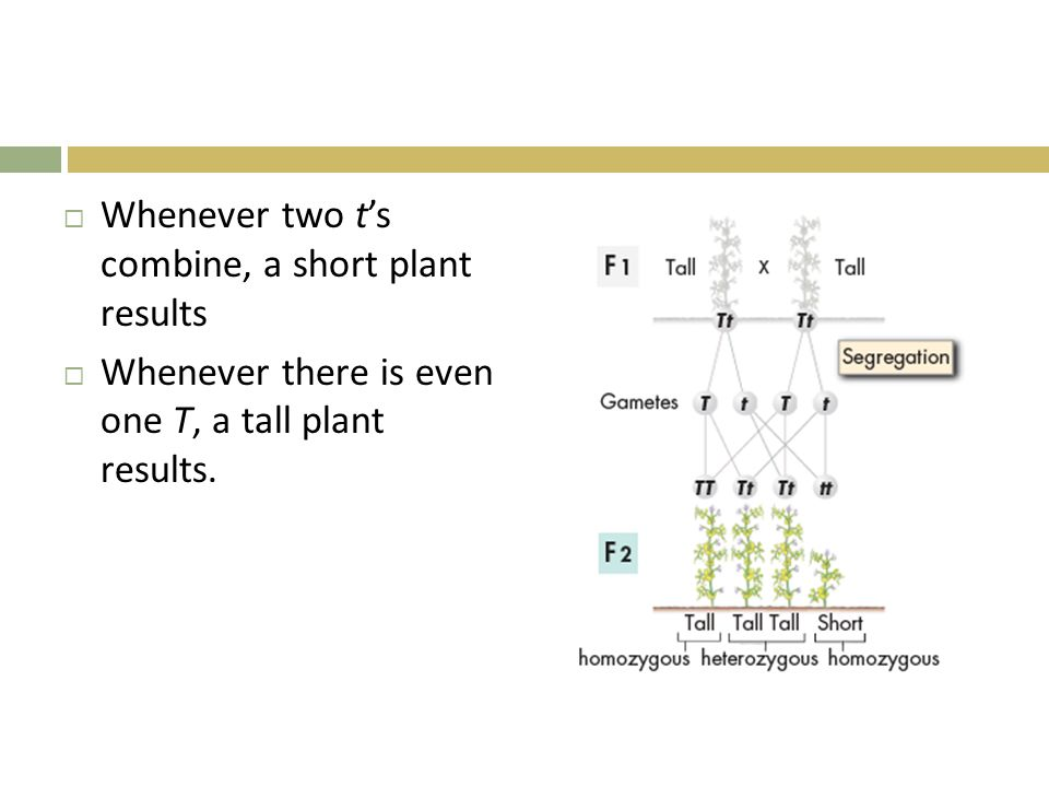  Whenever two t's combine, a short plant results  Whenever there is even one T, a tall plant results.