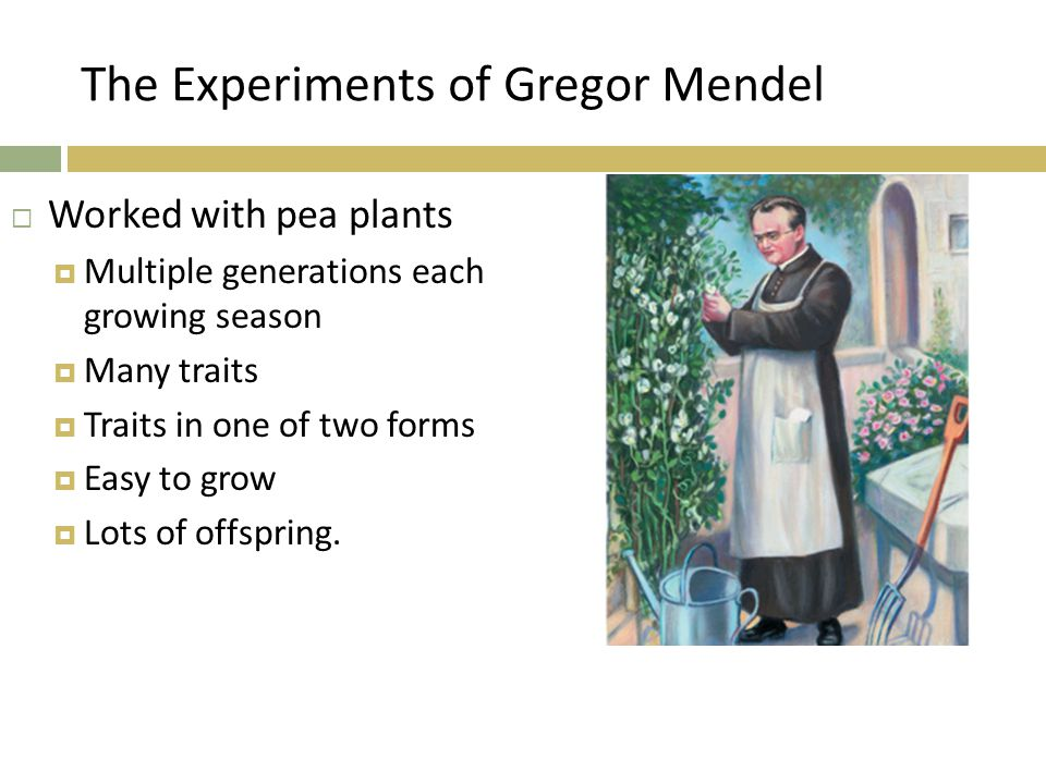 The Experiments of Gregor Mendel  Worked with pea plants  Multiple generations each growing season  Many traits  Traits in one of two forms  Easy