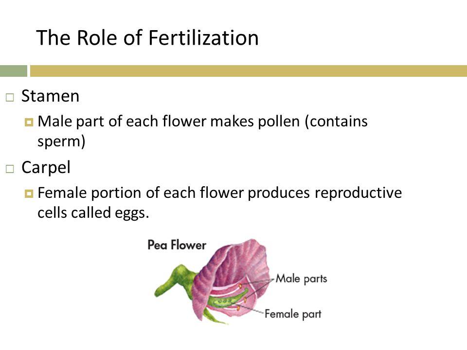 The Role of Fertilization  Stamen  Male part of each flower makes pollen (contains sperm)  Carpel  Female portion of each flower produces reproduc