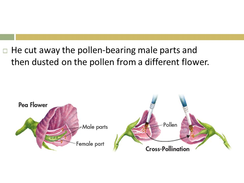  He cut away the pollen-bearing male parts and then dusted on the pollen from a different flower.