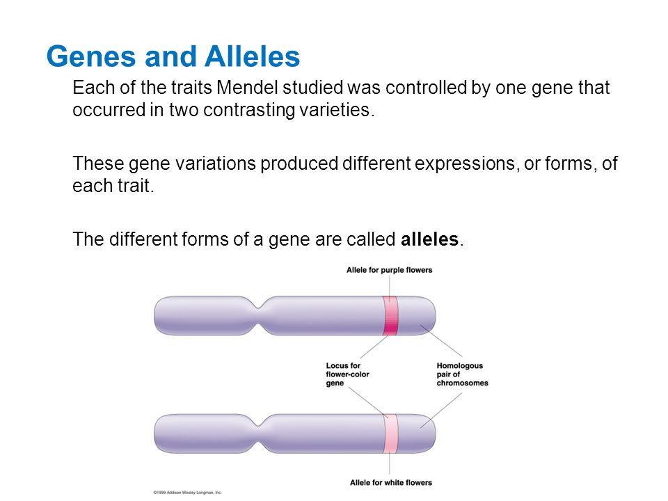 Genes and Alleles Each of the traits Mendel studied was controlled by one gene that occurred in two contrasting varieties. These gene variations produ