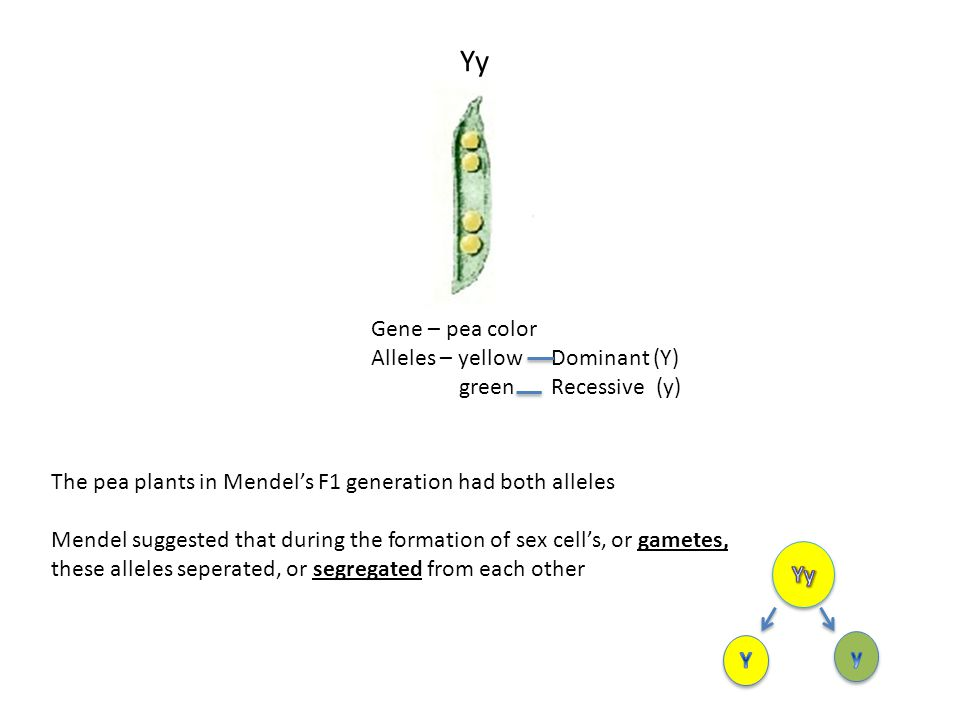 Gene – pea color Alleles – yellow green Dominant (Y) Recessive (y) The pea plants in Mendel's F1 generation had both alleles Mendel suggested that dur