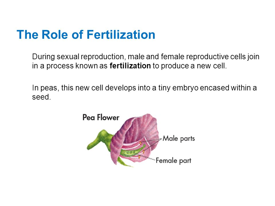 The Role of Fertilization During sexual reproduction, male and female reproductive cells join in a process known as fertilization to produce a new cel