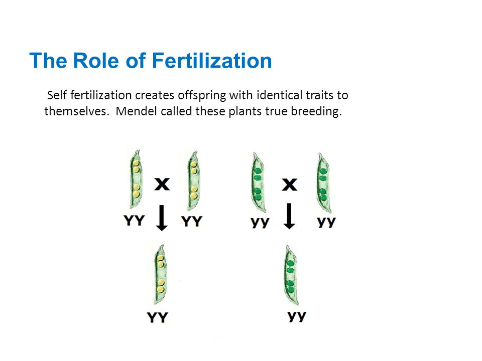 The Role of Fertilization Self fertilization creates offspring with identical traits to themselves. Mendel called these plants true breeding.