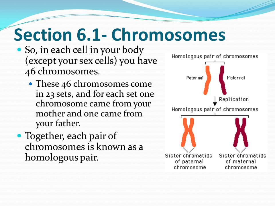 Section 6.1- Chromosomes homologous chromosomes are two chromosomes that have the same general shape and structure.
