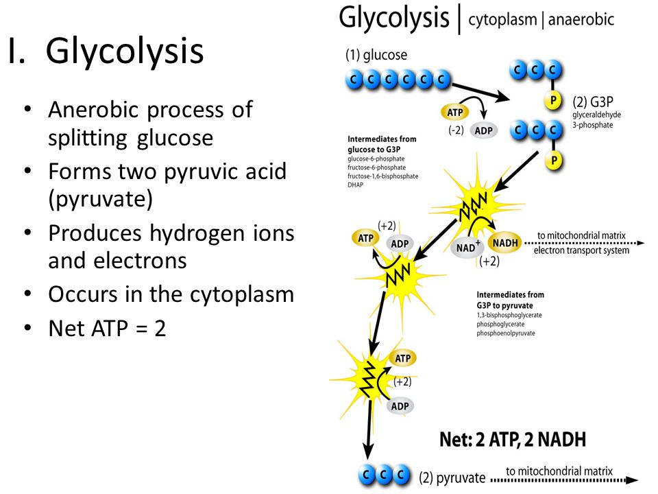 I. Glycolysis Anerobic process of splitting glucose Forms two pyruvic acid (pyruvate) Produces hydrogen ions and electrons Occurs in the cytoplasm Net