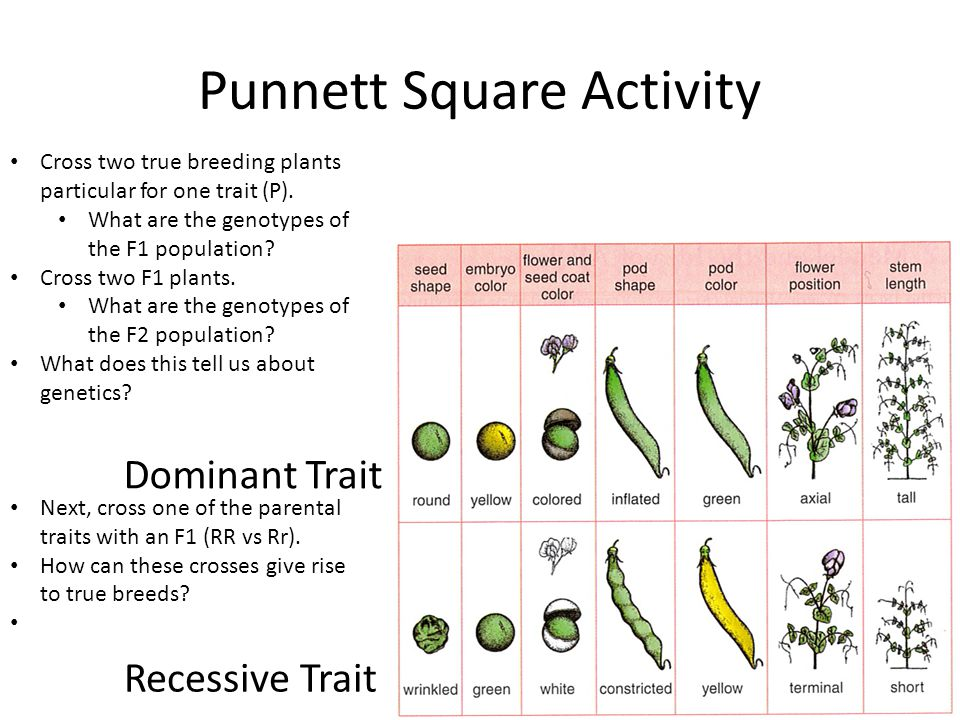 Punnett Square Activity Dominant Trait Recessive Trait Cross two true breeding plants particular for one trait (P).