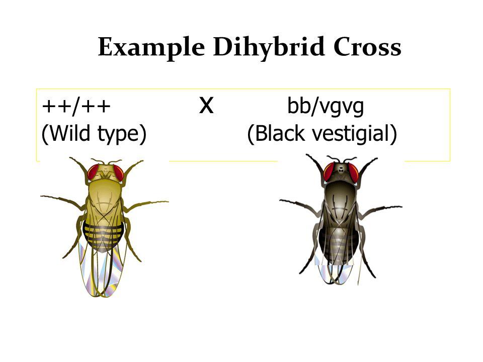 Example Dihybrid Cross ++/++ x bb/vgvg (Wild type) (Black vestigial)